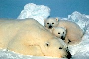 A polar bear and her cubs at ANWR