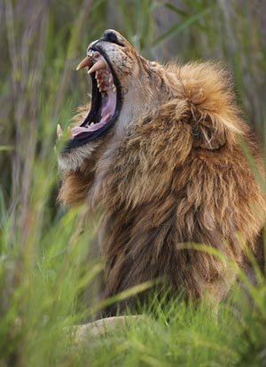 Lion, Rex Features