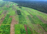 palm plantation in Indonesia