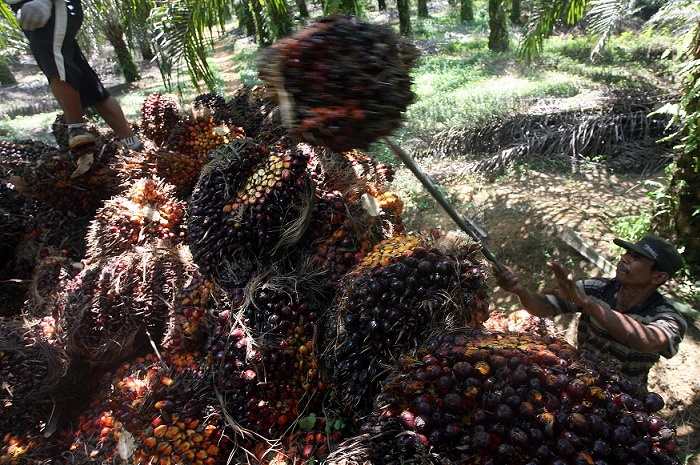 palm fruits 24 July