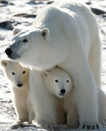 US polar bear ruling may chill energy development