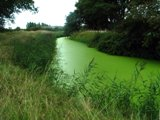 An Algae-filled river in the UK