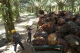 Palm oil fruit being harvested in Malaysian plantation