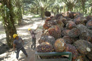 Palm oil production expected to rise