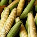 USDA keeps forecast for record corn harvest