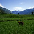 India rice fields