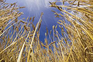 corn fields Rex Features