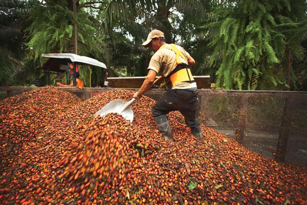 Palm oil production Alamy