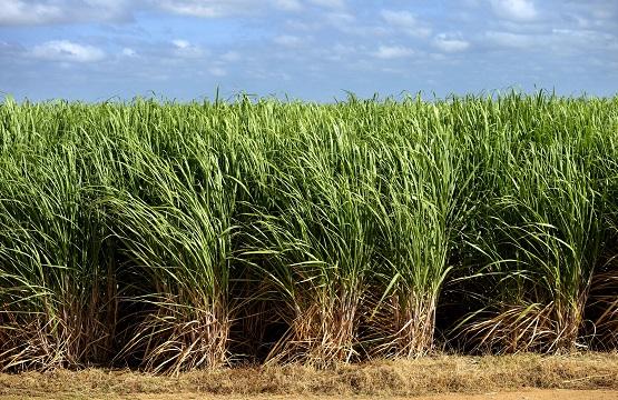 Top image: Irrigated sugar cane plantation, near Juazeiro, Bahia, Brazil Photographer: Florian Kopp / imageBROKER/REX/Shutterstock.