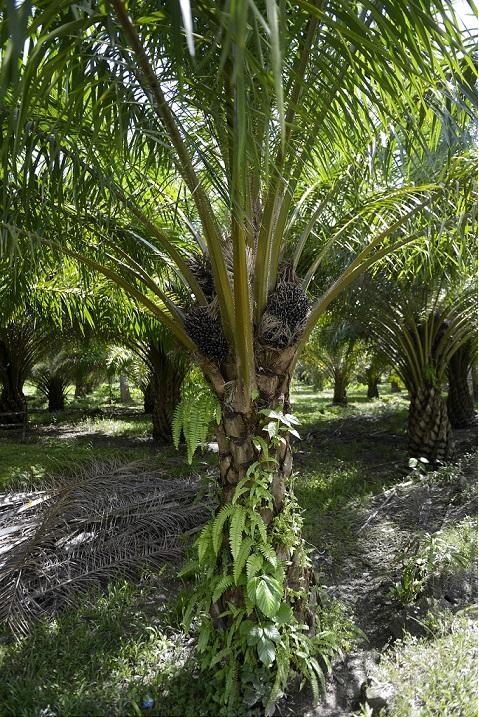 Oil palm 24 August